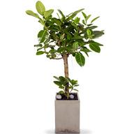 뱅갈고무나무 LW (고급시멘트분)