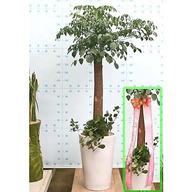 해피트리(1미터50Cm) 행복나무로 행복을 선사하세요^^
