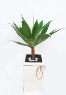 아가베아테UJ(기능성식물)