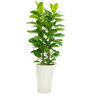 뱅갈고무나무(백자분)