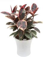루비고무나무(독특한색깔잎)